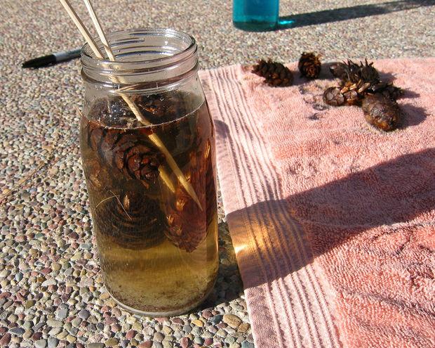 Conos de pino de la hoguera que cambian de color | primo Daily Bruin