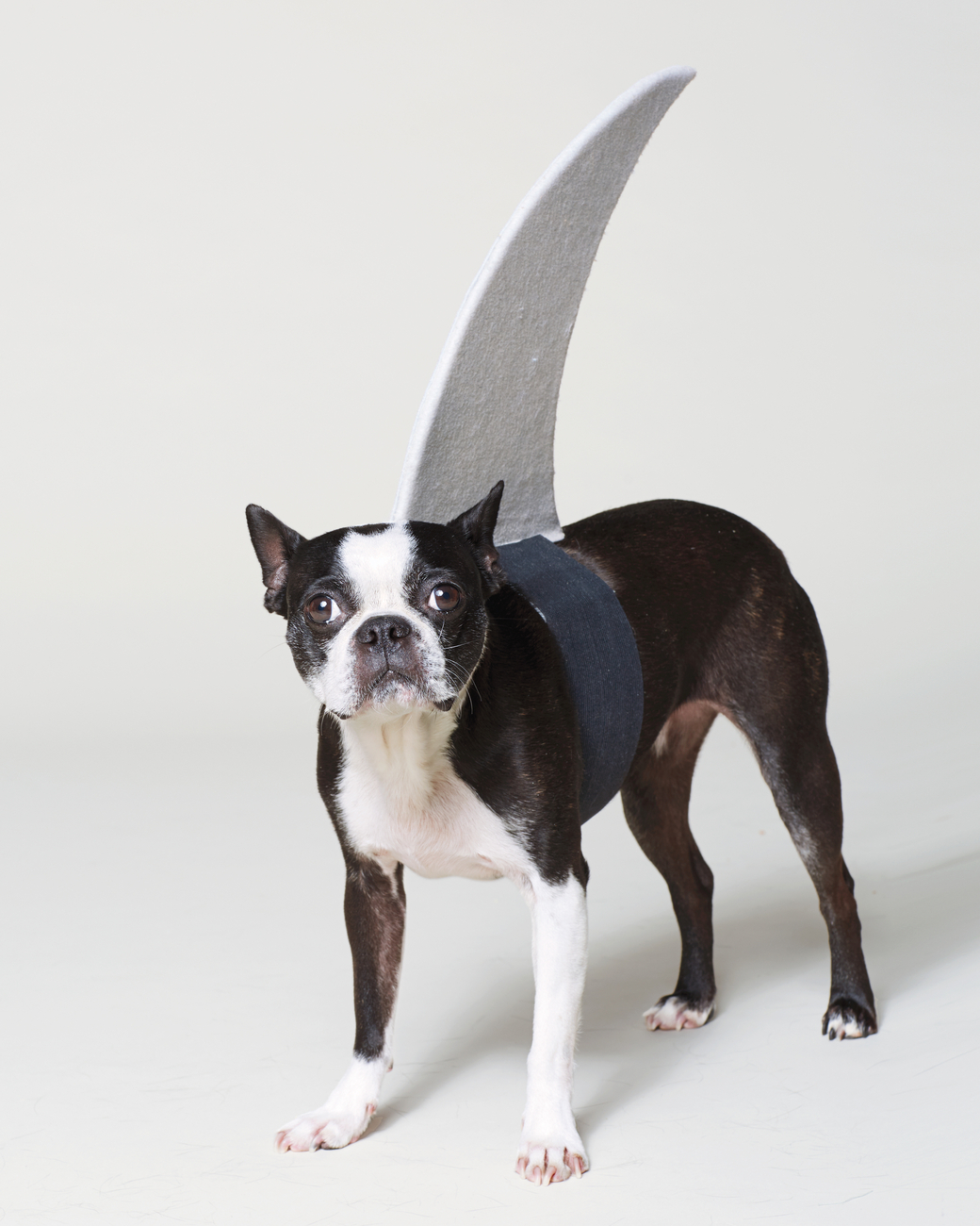 Diy Shark Fin Costume Your Pup All Created
