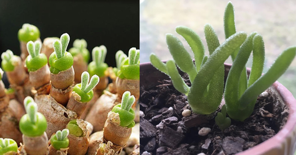 Latest Viral Trend Easter Bunny Succulents You Can Grow - Japan is going mad over these tiny succulents that look like bunny ears