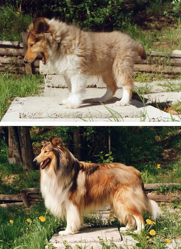 Dogs Recreated Photos _ Collie dog _ allcreated