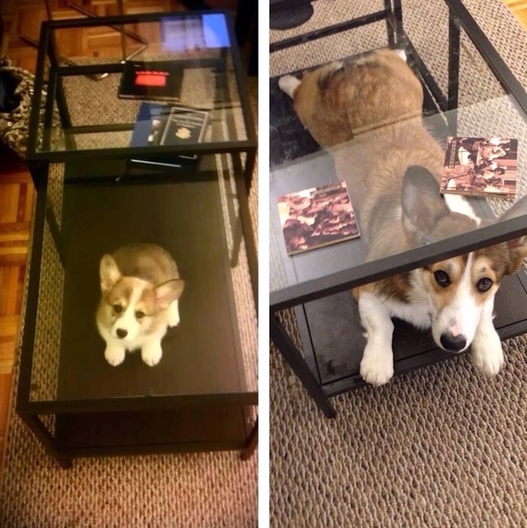 Dogs Recreated Photos _ Corgi under coffeetable _ allcreated