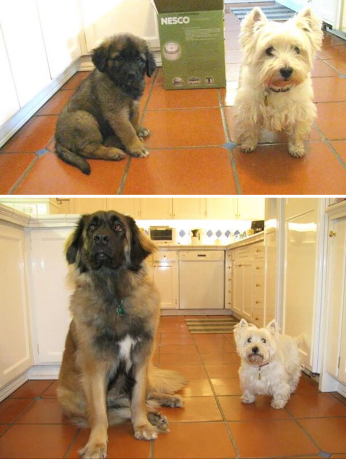 Dogs Recreated Photos _ westie dog best friends _ allcreated