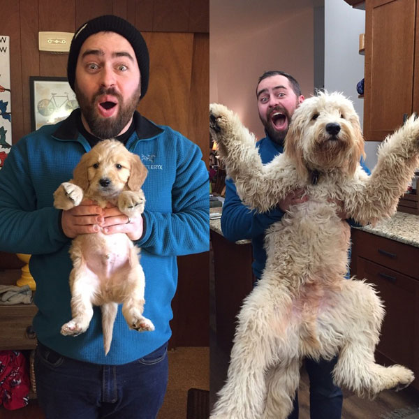 Dogs Recreated Photos _ Golden Doodle and Man _ allcreated
