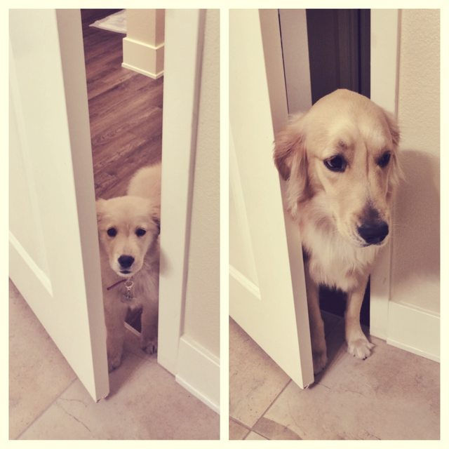 Dogs Recreated Photos _ Golden Retriever Dog Door _ allcreated