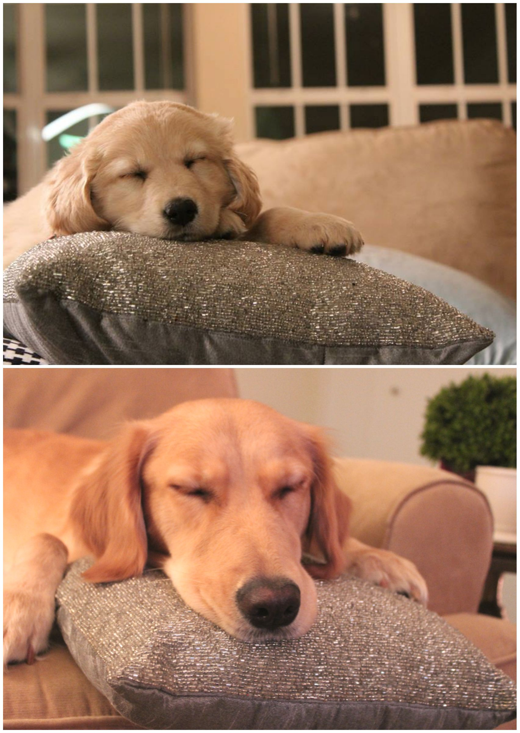Dogs Recreated Photos _ Golden Retriever Pillow _ allcreated
