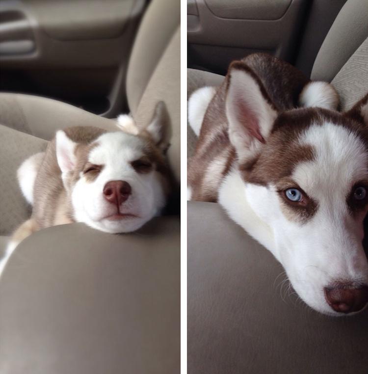 Dogs Recreated Photos _ husky dog in car _ allcreated