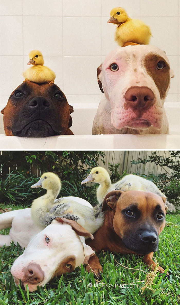 Dogs Recreated Photos _ Pit Bulls and Ducks _ allcreated