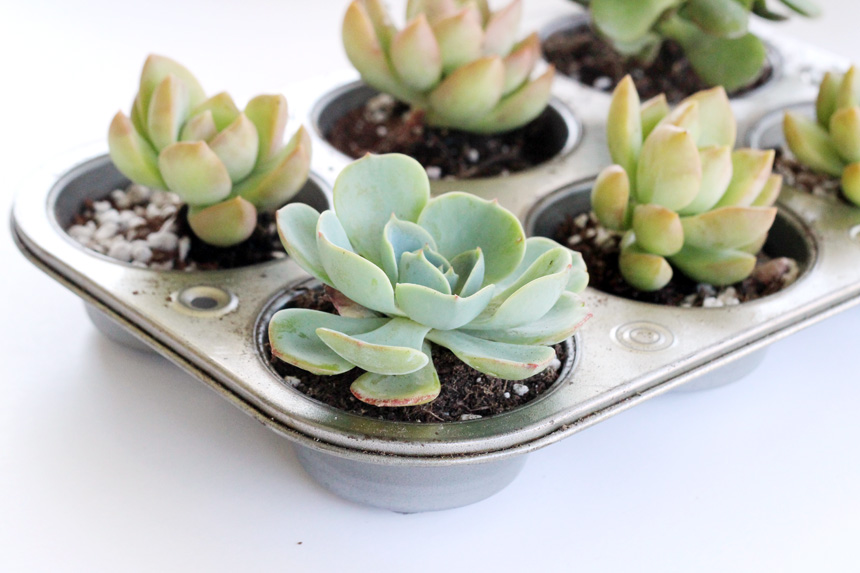 13 Brilliant Ways to Repurpose Your Ordinary Muffin Tin _ succulent planter _ all created